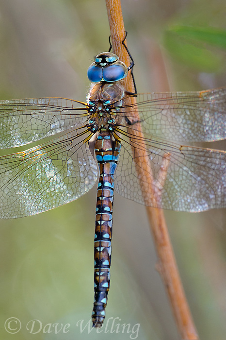 339300008 a wild male california darner rhionaeschna californica perches on  a plant stem along the jean blanc canal near bishop in inyo county california