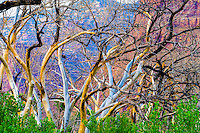 Cottonwood trees with bark falling off,  Desolation Canyon proposed Wilserness, Utah Green River   Populus fremontii