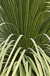 DASYLIRION ACROTRICHUM, GREEN DESERT SPOON OR GREEN SOTOL