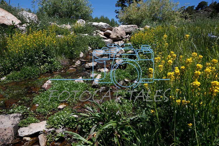 Wildflowers bloom along the Leviathan Peak Loop, near Markleeville, Ca., on Saturday, July 7, 2019.<br /> Photo by Cathleen Allison/Nevada Momentum