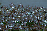 Western Sandpiper flock taking flight.
