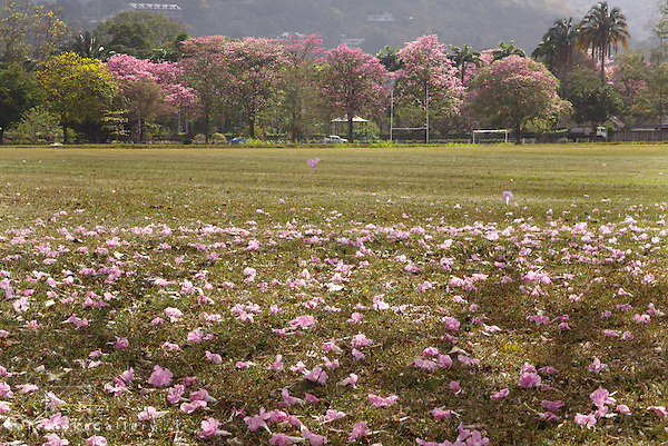 Pink poui blossoms falling on the Savannah, Port of Spain - dry season