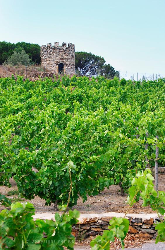 Domaine la Tour Vieille. Collioure. Roussillon. Vine leaves. The vineyard. France. Europe. Vineyard.