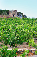 Domaine la Tour Vieille. Collioure. Roussillon. Vine leaves. The vineyard. France. Europe. Vineyard.