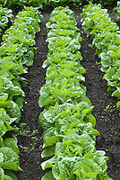 Lettuce 'Winter Density' growing in rows in good black garden soil in vegetable ground