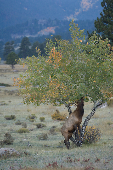 American elk, wapiti, Cervus elaphus, wildlife, scenic, landscape, mountains, forest, October, fall, autumn, evening, Beaver Meadows, Rocky Mountain National Park, Colorado, USA