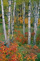 Yellow birch and red maple<br />