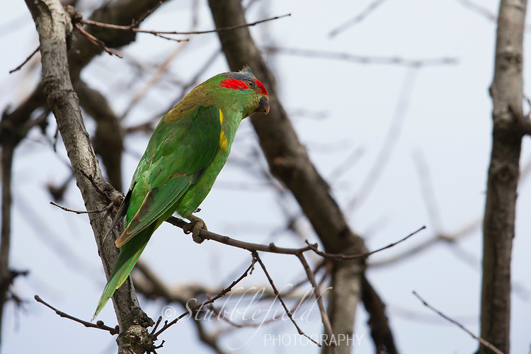 Musk Lorikeet (Glossopsitta concinna) resting in a tree in Rymill Park, Adelaide, South Australia.