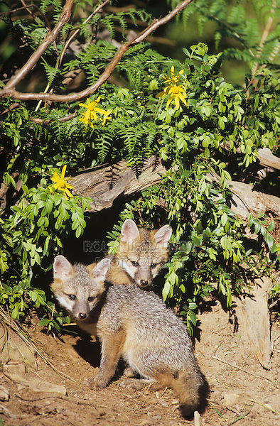 Gray Fox (Urocyon cinereoargenteus), young at den, captive, USA