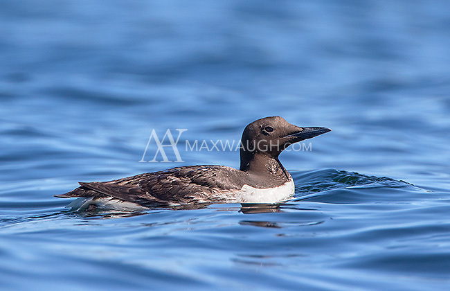 Common murres were frequently seen throughout the trip.