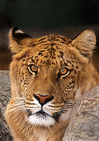 655809030v a ligress an artificially produced offspring of a male lion and a female tiger - animal is a wildlife rescue - species is not  found in the wild