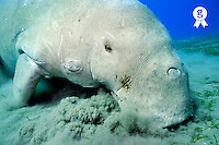 Dugong (Dugong dugon) eating Posidonia Oceanica on sea bed, Red Sea, Egypt (Licence this image exclusively with Getty: http://www.gettyimages.com/detail/82406611 )