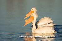00671-009.07 American White Pelicans (Pelecanus erythrorhynchos) Riverlands Environmental Demonstration Area,  MO