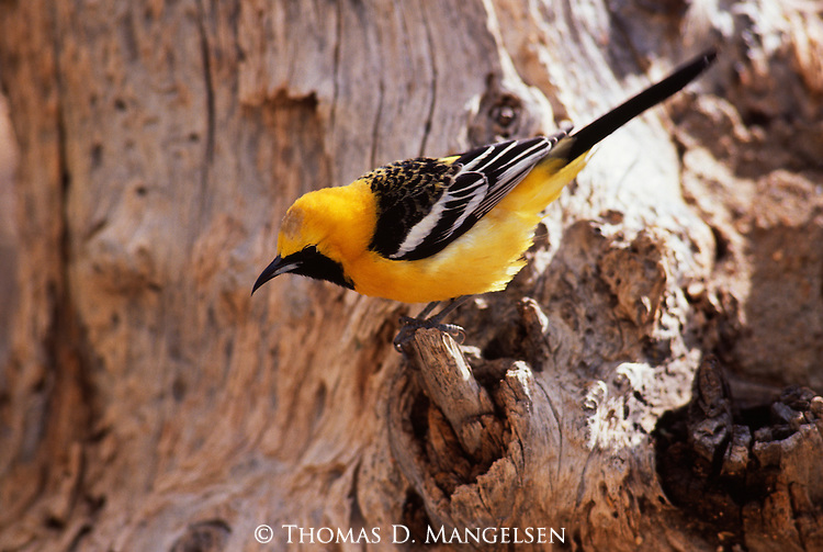 Hooded Oriole perched on a stump.