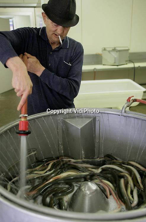 Foto: VidiPhoto..URK - Op de vismijn in Urk zijn woensdag de eerste palingen van het seizoen binnengebracht. Ondanks het koude weer was de kwaliteit en de hoeveelheid boven verwachting, alle negatieve verhalen over de hoeveelheid paling in het IJsselmeer ten spijt. De UK 122, die vrijwel ieder jaar de eerste vis binnenbrengt, wist een..hoeveelheid van 310 pond paling te vangen. Donderdag liggen de eerste verse gerookte palingen van het seizoen in de winkel. Foto: Spoelen van de paling.