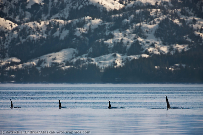 Orcas, or Killer whales, Prince William Sound, southcentral, Alaska