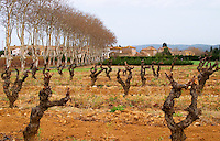 Chateau la Voulte Gasparets. In Gasparets village near Boutenac. Les Corbieres. Languedoc. Vines trained in Gobelet pruning. Old, gnarled and twisting vine. France. Europe. Vineyard.