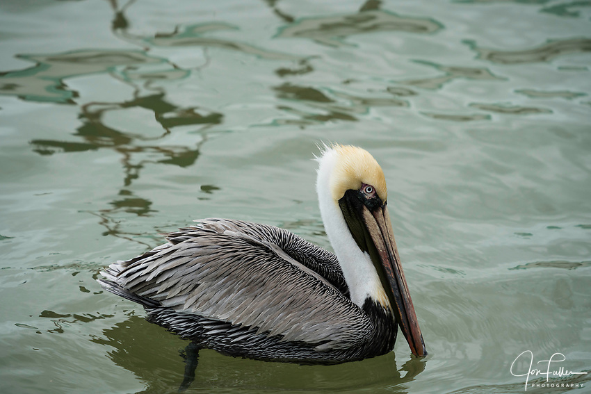 A Brown Pelican, Pelecanus occidentalis, on the water in the Ria Lagartos Biosphere Reserve, a UNESCO World Biosphere Reserve in Yucatan, Mexico.