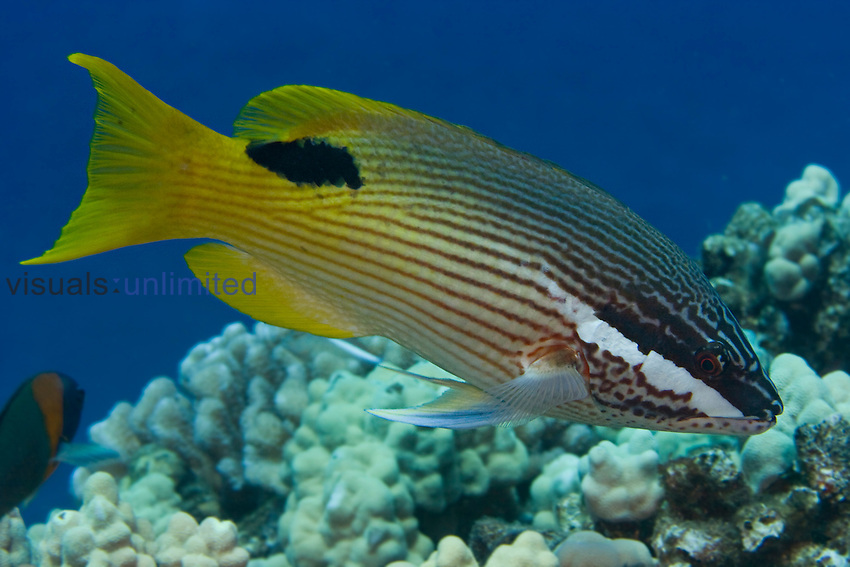 Despite its common name, the Hawaiian Hogfish (Bodianus bilunulatus) is not endemic to Hawaii, USA.