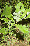 Red oak seedling  Quercus rubra
