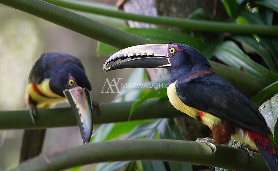 Collared aracaris pick at food found in a palm.