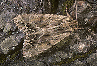 Dark Arches  Apamea monoglypha Length 25-27mm. A well-marked moth that rests with its wings in a shallow tent-like manner. Adult has grey-brown forewings with a jagged, black and white line near the outer margin and a pale circular and kidney-shaped mark. Very dark forms also occur, mainly in northern Britain. Flies July-August. Larva feeds on various grasses. Widespread and common throughout.