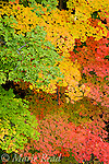 Multicolored pattern of maple branches in fall, North Chagrin Reservation, Ohio, USA