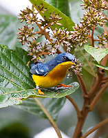 Tropical parula male