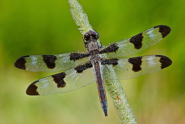 A dewy Twelve-spotted Skimmer dragonfly on a grass stalk.