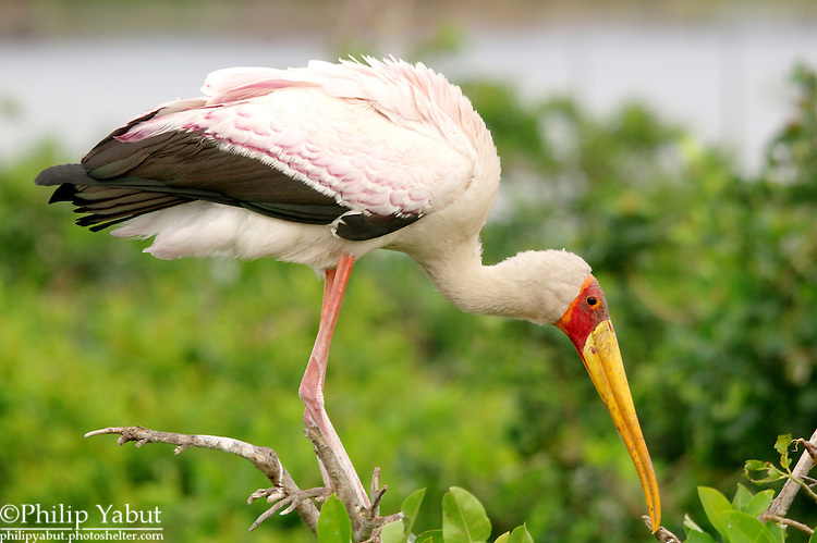 Yellow-billed stork (Mycteria ibis), Moremi Reserve, Okavango Delta, Botswana