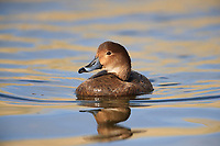 Redhead (Aythya americana), female swimming in Railroad Lake in Cornerstone Park, Henderson, Nevada.
