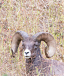 Big Horn Sheep are a frequent site in Yellowstone National Park.