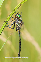 06544-00112 Hine's Emerald dragonfly (Somatochlora hineana) male in fen, Federally Endangered Species Reynolds Co,  MO