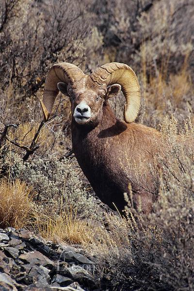 California bighorn sheep ram (Ovis canadensis california), October, Western North America.