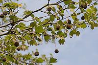 Amerikanische Platane, Westliche Platane, Abendländische Platane, Nordamerikanische Platane, Platanus occidentalis, American Sycamore, American planetree, American plane, Occidental plane, Buttonwood, Button Tree