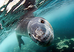 Facial view of a Leopard seal (Hydrurga leptonyx) during a close encounter, Astrolabe Island, Antarctica