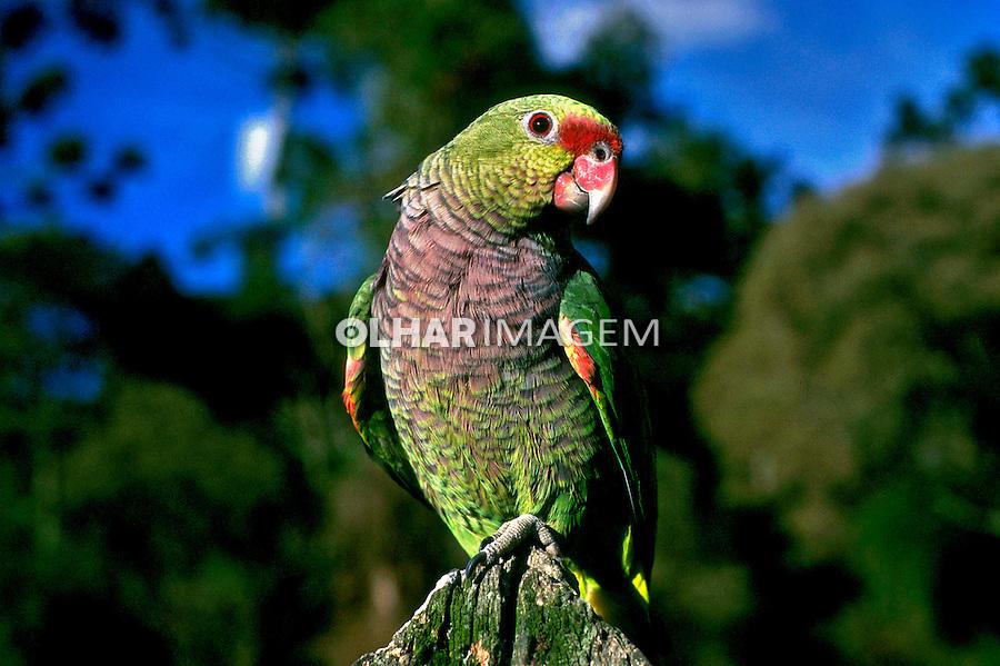 Animais. Aves. Papagaio-do-peito-roxo ( Amazona vimacra).  Foto de Fausto Pires de Campos.