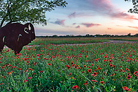 Hill Country Wildflowers- Texas Wildflower - Landscape Texas Hill country with indian blanket or firewheel wildflowers at sunset with colorful sky as the sun goes down with this lovely tree and trail through the flowers.