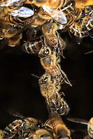 A bucket brigade of wax bees. Bees, veritable bricklayers, make chains with their bodies during the construction of the honeycombs to pass along the wax scales produced by their abdomens.///Une chaîne cirière d'abeilles. Les abeilles véritables maçonnes font des chaînes de leurs corps pendant la construction des galettes de cire pour se passer les écailles blanches produites par leur abdomen.