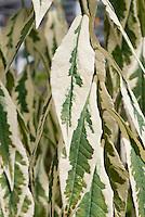 Phlox paniculata 'Norah Leigh' foliage variegated