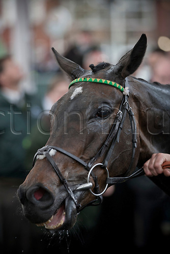 13.04.2012 Aintree, England. The Grand National Festival Ladies Day. Darlan pictured after the winning the first race of the day, the Tangle Teezer Top Novices' Race, where he was ridden by champion jockey A P McCoy