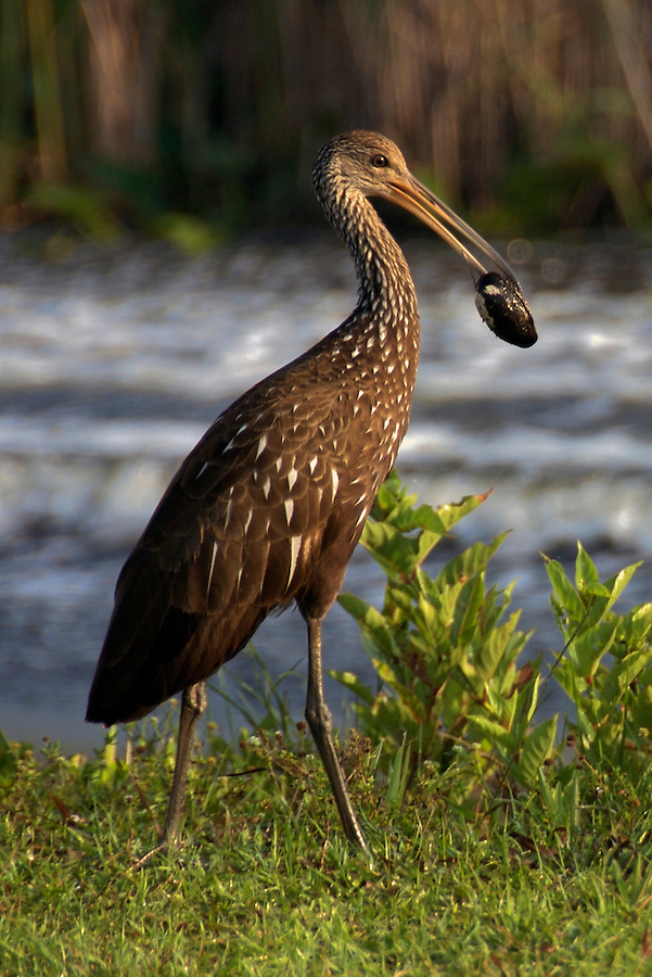 Limpkin in Everglades National Park, Florida, USA