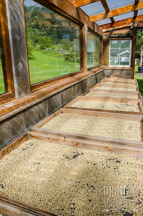 Raw coffee beans drying on palettes in the sun, Kaleo's Koffee, Pua'a Kea Farm, Pa'auilo, Hamakua area, Big Island.