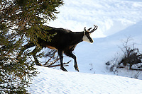 Side view of a chamois buck walking in the snow
