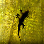 Gecko silhouetted behind sheet of fiber glass