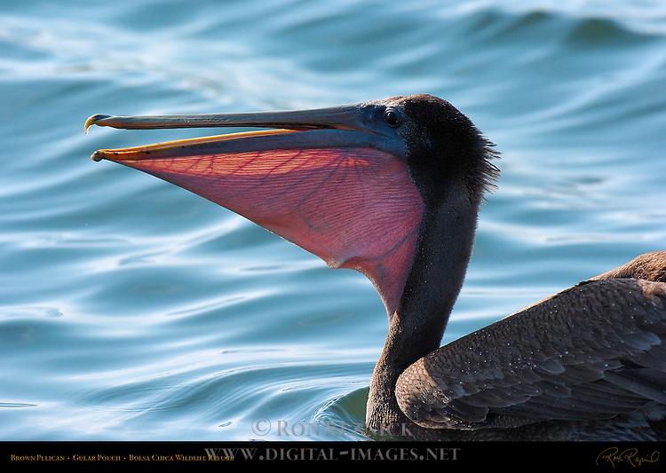 Brown Pelican, Gular Pouch, Bolsa Chica Wildlife Refuge, Southern California