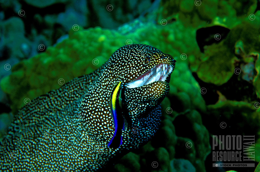 A Whitemouth Moray Eel (Gymnothorax meleagris) also known as Puhi, gets cleaned by an Hawaiian Cleaner Wrasse.This little purple and yellow wrasse lives only in Hawaiian waters.