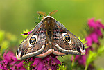 Emperor Moth, Saturnia pavonia, male resting on heather, showing eye spots, wings, patterned, scales, antennae, fluffy.United Kingdom....