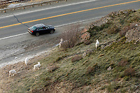 Dall Sheep ewes &amp; lambs feed on grass at Windy Corner area south of Anchorage, Alaska in winter as a car/vehicle stops to photograph them along the Seward highway,   Southcentral, Alaska<br />  Chugach Mountains in Chugach State Park<br /> Photo by Jeff Schultz/SchultzPhoto.com  (C) 2019  ALL RIGHTS RESERVED