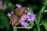 03620-00112 Sickle-winged Skipper butterfly (Achlyodes thraso) on Crucita Mistflower (Eupatorium odoratum), Santa Ana National Wildlife Refuge, Hidalgo Co. TX